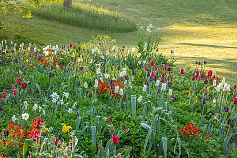 FORDE_ABBEY_SOMERSET_PARK_GARDEN_BORDERS_TULIPS_TULIPA_KINGSBLOOD_QUEEN_OF_THE_NIGHT_TRIUMPHATOR_TUL