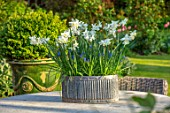 DESIGNER ANGELA COLLINS: GREY CONTAINER WITH WHITE FLOWERS - NARCISSUS TRESAMBLE, MUSCARI BLUE MAGIC, CONTAINERS, SPRING, APRIL
