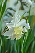 DESIGNER ANGELA COLLINS: WOODEN VINE BOX, CONTAINER WITH WHITE, CREAM, YELLOW FLOWERS - LEOCOJUM GRAVETYE GIANT, NARCISSUS TRESAMBLE, COMBINATION, PLANT, ASSOCIATION, BULBS