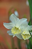 DESIGNER ANGELA COLLINS: WOODEN VINE BOX, CONTAINER WITH WHITE, CREAM, YELLOW FLOWERS OF NARCISSUS TRESAMBLE, BULBS