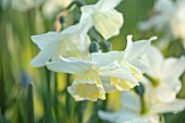 DESIGNER ANGELA COLLINS: WHITE, CREAM, YELLOW FLOWERS OF NARCISSUS TRESAMBLE, BULBS, SPRING, APRIL