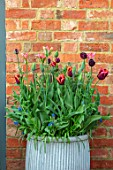DESIGNER ANGELA COLLINS: CONTAINER WITH TULIPS - TULIPA EVERGREEN, TULIPA SLAWA, TULIPA VIRICHIC, TULIPA BLACK HERO, BULBS, SPRING, APRIL