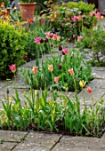 DESIGNER ANGELA COLLINS: WALL, PATIO, TERRACE PLANTED WITH TULIPS - TULIPA EVERGREEN, TULIPA VIRICHIC, TULIPA BLACK HERO, BULBS, SPRING, APRIL