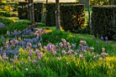 THE OLD VICARAGE, WORMLEIGHTON, WARWICKSHIRE: DESIGNER ANGEL COLLINS - LAWN WITH CAMASSIA LEICHTLINII SUBSP. SUKSDORFII CAERULEA GROUP, SPRING, APRIL, BULBS
