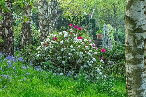 HALL_O_TH_WOOD_CHESHIRE_WOODLAND_SPRING_APRIL_BLUEBELLS_AND_WHITE_FLOWERS_OF_RHODODENDRON_CUNNINGHAM