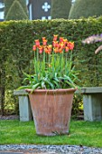 HALL O TH WOOD, CHESHIRE: SPRING, APRIL, TERRACOTTA CONTAINER, TULIPS, TULIPS BALLERINA, BULBS, ORANGE FLOWERS