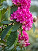 HALL O TH WOOD, CHESHIRE: PINK RHODODENDRON, SPRING, APRIL, FLOWERING, BLOOMING, PINK, FLOWERS, WOODLAND, SHADE, SHADY
