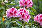 HALL O TH WOOD, CHESHIRE: PINK, MAGENTA, RED RHODODENDRON, SPRING, APRIL, FLOWERING, BLOOMING, PINK, FLOWERS, WOODLAND, SHADE, SHADY