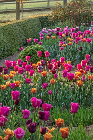 PETTIFERS_OXFORDSHIRE_THE_PARTERRE_SPRING_APRIL_EARLY_MORNING_DAWN_CLIPPED_TOPIARY_TULIPS_CAIRO_BLAC