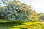 PETTIFERS, OXFORDSHIRE: MEADOW WITH FLOWERS, BLOSSOM OF AVENUE OF  OF MALUS TRANSITORIA, TREES, SHRUBS, FLOWERING, BLOOMING, MORNING LIGHT, DAWN, SUNRISE, SPRING, APRIL, CRAB APPLE