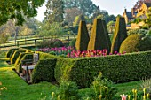 PETTIFERS, OXFORDSHIRE: BULBS, FLOWERING, BLOOMING, MORNING LIGHT, SUNRISE, SPRING, APRIL, PARTERRE, YEW, BOX TOPIARY, CLIPPED, SEAT, BENCH, TULIPS BARCELONA, BLACK BEAN, CAIRO