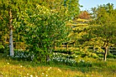 PETTIFERS, OXFORDSHIRE: MEADOW, STAPHYLEA COLCHICA, NARCISSUS MOUNT HOOD, CORNUS CONTROVERSA VARIEGATA, BULBS, FLOWERING, BLOOMING, MORNING LIGHT, DAWN, SUNRISE, SPRING, APRIL