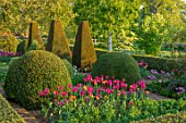 PETTIFERS, OXFORDSHIRE: BULBS, FLOWERING, BLOOMING, MORNING LIGHT, SUNRISE, SPRING, APRIL, PARTERRE, YEW, BOX TOPIARY, CLIPPED, TULIPS BARCELONA, BLACK BEAN, CAIRO