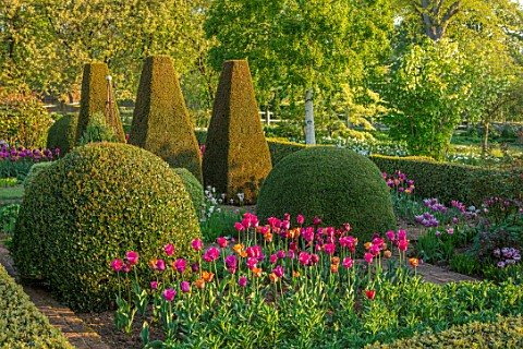PETTIFERS_OXFORDSHIRE_BULBS_FLOWERING_BLOOMING_MORNING_LIGHT_SUNRISE_SPRING_APRIL_PARTERRE_YEW_BOX_T