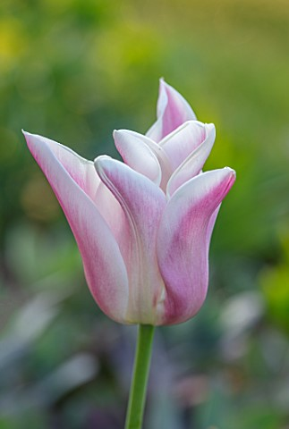 PETTIFERS_OXFORDSHIRE_CLOSE_UP_OF_PINK_WHITE_FLOWERS_OF_TULIPS__TULIPA_SANNE_BULBS_SPRING_APRIL_VELV