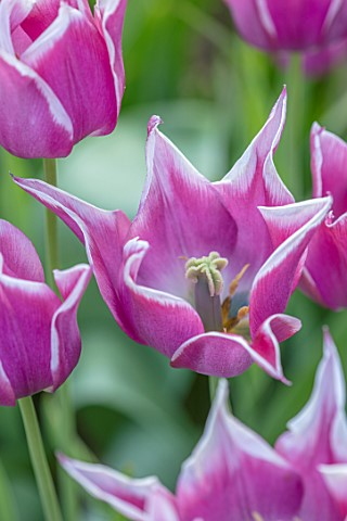 PETTIFERS_OXFORDSHIRE_CLOSE_UP_OF_PINK_WHITE_EDGES_FLOWERS_OF_TULIPS__TULIPA_BALLADE_BULBS_SPRING_AP