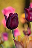 PETTIFERS, OXFORDSHIRE: CLOSE UP OF DARK, PURPLE, BLACK FLOWERS OF TULIPS - TULIP BLACK BEAN, BULBS, SPRING, APRIL, VELVETY, PETALS