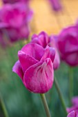 PETTIFERS, OXFORDSHIRE: CLOSE UP OF DEEP PINK FLOWERS OF TULIPS - TULIP BARCELONA, BULBS, SPRING, APRIL, VELVETY, PETALS