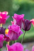 PETTIFERS, OXFORDSHIRE: CLOSE UP OF DEEP PINK FLOWERS OF TULIPS - TULIP BARCELONA, BLACK, PURPLE FLOWERS OF TULIPA BLACK BEAN, BULBS, SPRING, APRIL, VELVETY, PETALS