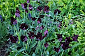 PETTIFERS, OXFORDSHIRE: CLOSE UP OF DARK PURPLE, BLACK FLOWERS OF TULIP - TULIPA BLACK PARROT, BULBS, SPRING, APRIL, FRINGED, VELVETY, PETALS
