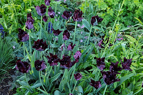 PETTIFERS_OXFORDSHIRE_CLOSE_UP_OF_DARK_PURPLE_BLACK_FLOWERS_OF_TULIP__TULIPA_BLACK_PARROT_BULBS_SPRI