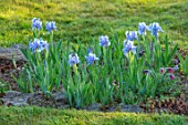 PETTIFERS, OXFORDSHIRE: ROCK GARDEN, LAWN, GRAVEL BED, BORDER, PALE BLUE, GREY FLOWERS OF MIONIATURE IRIS TINKERBELL, BULBS, SPRING, APRIL