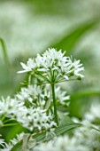APRIL COTTAGE, WORCESTERSHIRE: COUNTRY GARDEN, APRIL, SPRING, WOODLAND, SHADE, SHADY, WHITE FLOWERS OF RANSOMES, WILD GARLIC, ALLIUM URSINUM, NATURAL, WILDFLOWERS