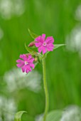 APRIL COTTAGE, WORCESTERSHIRE: CLOSE UP OF WILDFLOWER, PINK FLOWERS OF SILENE DIOICA, RED CAMPION, WILDFLOWERS, SPRING, APRIL