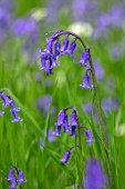 APRIL COTTAGE, WORCESTERSHIRE: CLOSE UP OF WILDFLOWER, BLUE PURPLE FLOWERS OF ENGLISH BLUEBELLS, HYACINTHOIDES NON-SCRIPTA, WILDFLOWERS, SPRING, APRIL