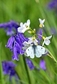 APRIL COTTAGE, WORCESTERSHIRE: BLUE, PURPLE FLOWERS, ENGLISH BLUEBELLS, HYACINTHOIDES NON-SCRIPTA, WILDFLOWERS, SPRING, APRIL, SMALL CABBAGE WHITE BUTTERFLY, PIERIS RAPAE