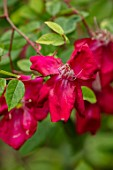 THE PICTON GARDEN AND OLD COURT NURSERIES, WORCESTERSHIRE: CLOSE UP OF RED FLOWERS OF ROSES, ROSA CHINENSIS BENGAL BEAUTY, SHRUBS, SHADE, SHADY