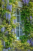 VILLAGE FARM HOUSE, GLOUCESTERSHIRE: ROSA BANKSIAE LUTEA, WISTERIA FLORIBUNDA, CLIMBERS, HOUSE, WALLS, CLIMBING, SHRUBS, MAY, SPRING, COUNTRY, GARDEN