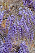 VILLAGE FARM HOUSE, GLOUCESTERSHIRE: WALL, PURPLE FLOWERS OF WISTERIA SINENSIS, MAY, SPRING, BLOOMING, FLOWERING, SCENTED, FRAGRANT, SHRUBS, CLIMBER, CLIMBING
