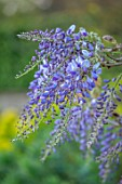 VILLAGE FARM HOUSE, GLOUCESTERSHIRE: PURPLE FLOWERS OF WISTERIA SINENSIS, MAY, SPRING, BLOOMING, FLOWERING, SCENTED, FRAGRANT, SHRUBS, CLIMBER, CLIMBING