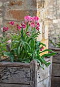 VILLAGE FARM HOUSE, GLOUCESTERSHIRE: WALL, MAY, SPRING, BLOOMING, FLOWERING, BULBS, WALLFLOWERS, WOODEN CONTAINERS, TULIPA ANGELIQUE, ERYSIMUM CHEIRI RUBY GEM