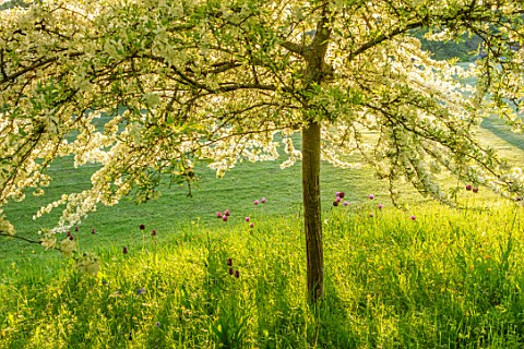 VILLAGE_FARM_HOUSE_GLOUCESTERSHIRE_MEADOW_LAWN_SPRING_MAY_MALUS_TRANSITORIA_UNDERPLANTED_WITH_TULIPS