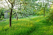 VILLAGE FARM HOUSE, GLOUCESTERSHIRE: MEADOW, LAWN, SPRING, MAY, MALUS TORINGOIDES, WHITE, BLOSSOM, FLOWERS, PATHS