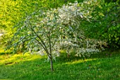VILLAGE FARM HOUSE, GLOUCESTERSHIRE: MEADOW, LAWN, SPRING, MAY, MALUS TRANSITORIA UNDERPLANTED WITH TULIPS QUEEN OF NIGHT, BLEU AIMABLE, CRAB APPLE, WHITE, BLOSSOM