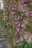VILLAGE FARM HOUSE, GLOUCESTERSHIRE: SPRING, MAY, STEPS, WALL, PINK FLOWERS OF CLEMATIS MONTANA VAR RUBENS TETRAROSE, CLIMBERS, SHRUBS