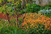 DESIGNER JAMES SCOTT, THE GARDEN COMPANY: TERRACE, RAISED BEDS, CORTEN STEEL EDGING, EDGES, BEDS, PRUNUS SERRULA, GEUM TOTALLY TANGERINE
