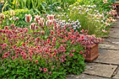 PETTIFERS, OXFORDSHIRE: DESIGNER GINA PRICE: SPRING, MAY, PATH, TULIPA ARTIST, ORANGE, RED FLOWERS OF GEUM BELL BANK, PERENNIALS, PATHS