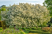 PETTIFERS, OXFORDSHIRE: DESIGNER GINA PRICE: SPRING, MAY, WHITE, FLOWERS, BLOSSOM OF MALUS HUPEHENSIS, TREES