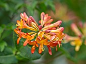 THE MANOR HOUSE, STEVINGTON, BEDFORDSHIRE: ORANGE, RED FLOWERS OF HONEYSUCKLE, LONICERA CILIOSA, TRUMPET, CLIMBERS, SCENTED, FRAGRANT