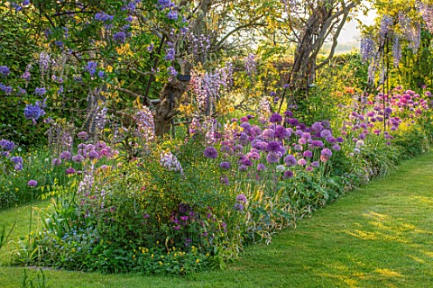 THE_MANOR_HOUSE_STEVINGTON_BEDFORDSHIRE_SPRING_MAY_LABURNUM_ARCH_ARCHWAY_ALLIUM_PURPLE_SENSATION_POP