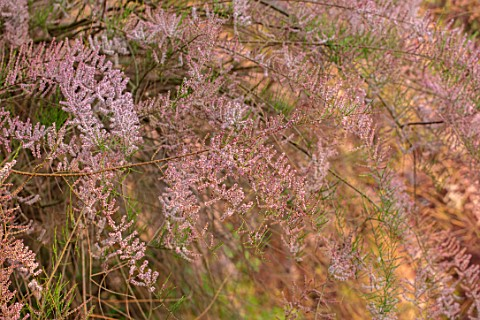 THE_MANOR_HOUSE_STEVINGTON_BEDFORDSHIRE_PINK_FLOWERING_FLOWERS_OF_TAMARISK_TAMARIX_TETANDRA_BLOSSOM_