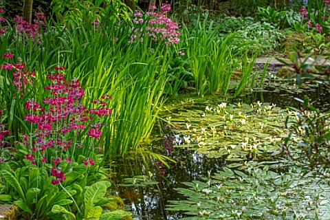 MORTON_HALL_GARDENS_WORCESTERSHIRE_STROLL_GARDEN_WATERPINK_FLOWERS_OF_PRIMULA_PULVERULENTA_WHITE_FLO