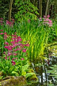 MORTON HALL GARDENS, WORCESTERSHIRE: STROLL GARDEN, WATER,PINK FLOWERS OF PRIMULA PULVERULENTA, WHITE FLOWERS, WATER HAWTHORN, APONOGETON DISTACHYUS, APRIL, SPRING