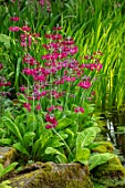 MORTON HALL GARDENS, WORCESTERSHIRE: STROLL GARDEN, WATER,PINK FLOWERS OF PRIMULA PULVERULENTA, APRIL, SPRING