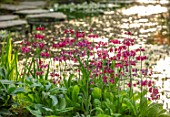 MORTON HALL GARDENS, WORCESTERSHIRE: STROLL GARDEN, WATER, PINK FLOWERS OF PRIMULA PULVERULENTA, APRIL, SPRING
