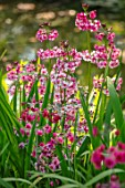 MORTON HALL GARDENS, WORCESTERSHIRE: STROLL GARDEN, WATER,PINK FLOWERS OF PRIMULA CANDELABRA HYBRIDS, APRIL, SPRING